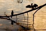Cormorants  at Narrabeen Lake