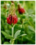 red-clover.jpg