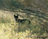 The native Dingo