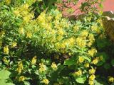 yellow plumbago