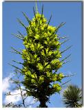 Puya Alpestris - Pineapple Relative