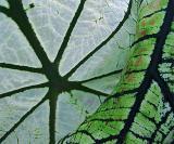 Lao leaves