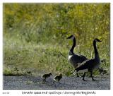 Canada Geese and Goslings at the Sunnyvale Baylands