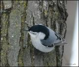 White-breasted Nuthatch 2034.jpg