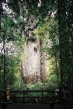 2000+ Year Old Kauri Tree