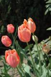 Late tulips
