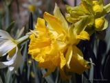 Historic Daffodils ~ WV ~ 2005