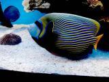 Emperor  Fish.jpg