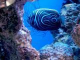 Young Empeeror Fish.jpg