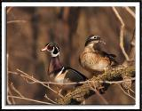 Ma and Pa Wood Duck