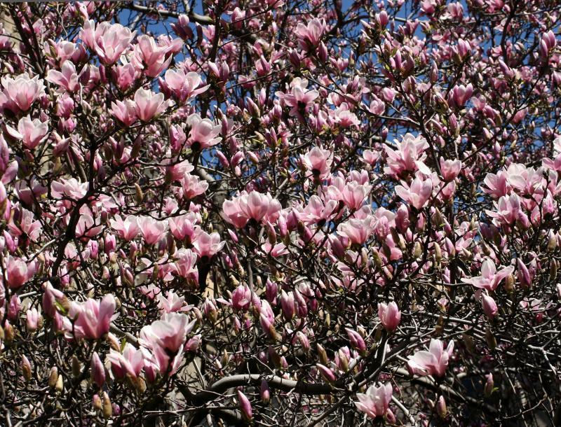 Tulip Tree Magnolias Grace Church
