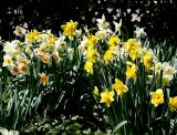 Daffodils - Grace Church