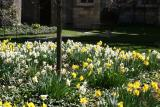 Daffodil Garden - Grace Church