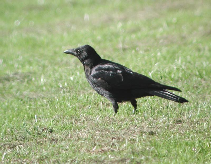 Corvus-corone.jpg
