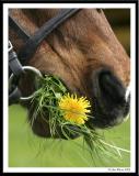 20050410 Dandelion Snack