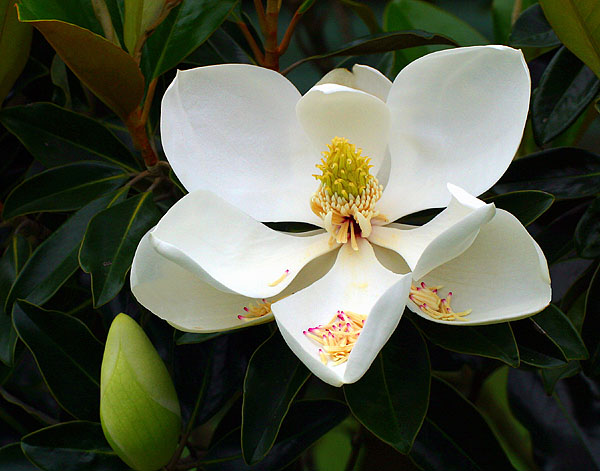 Magnolia Blossom with Spent Stamens