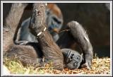 Gorilla laying - IMG_0994.jpg