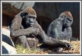 Gorillas DOF - IMG_1005.jpg
