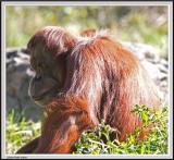 Orangutan - IMG_1032.jpg