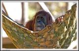 Orangutan - IMG_1035.jpg