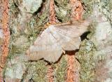 Red Headed Inchworm Moth (Semiothisa bisignata)