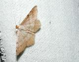 Red Headed Inchworm Moth (Semiothisa bisignata) [Geometridae , Ennominae