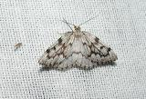 False Hemlock Looper Moth (Nepytia canosaria)