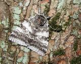 White Underwing (Catocala relicta)