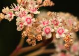 Rodgersia inflorescence