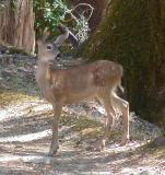 Fawn on Old Wilderness Road