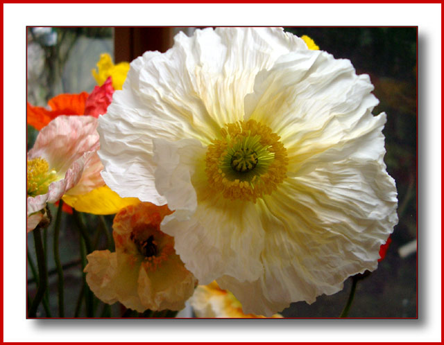 Light poppy