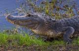 Alligator in the Wild 4903