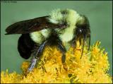 Bumble bee  profile