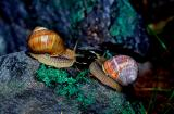 Roman snails