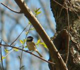 Carolina Chickadee near nest hole