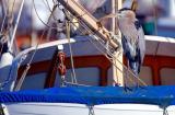 DSC_0871GBHeronOnBoat1.jpg