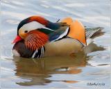 Mandarin Duck-Exotic