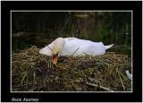 swan nest.jpg