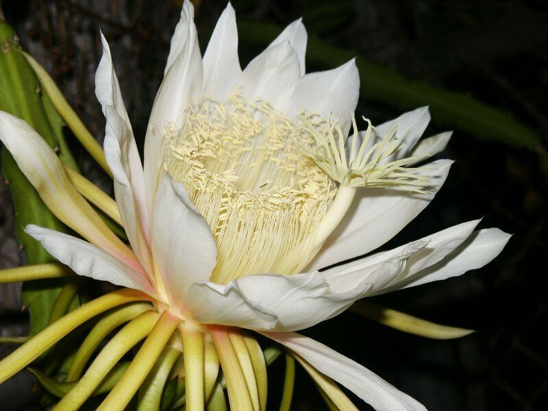 Cereus (Hylocereus undatus)