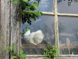 White pigeon in window of old barn