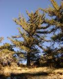 Western White Pine, Mount Gleason