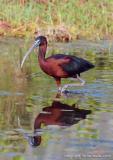 31091  Glossy Ibis