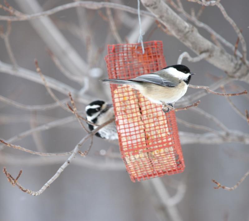 Chicakdee / woodpecker
