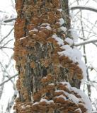 Shelf fungus in January