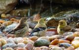 yel rumped/goldfinch