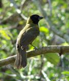 crimson-collared grosbeak female