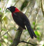 crimson collared grosbeak male