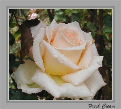 2 - Spring  Roses Down Under - 2004 GALLERY