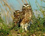 Sand Dune Owls
