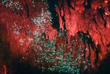 glow worms in waitomo caves